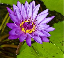 Purple Water Lily by stephaniellen