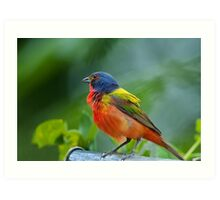 Mr. Painted Bunting makes his appearance Art Print