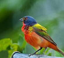 Mr. Painted Bunting makes his appearance by Bonnie T.  Barry