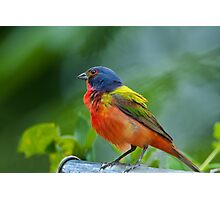 Mr. Painted Bunting makes his appearance Photographic Print