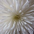 Beautiful White Chrysanthemum by DEB VINCENT