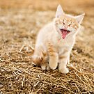 Kitteh Yawn by Sam Scholes