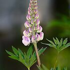 Pink Lupine by Jeff VanDyke