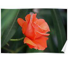 Oranje rose 3172 Poster