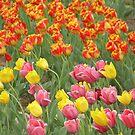 Tulips by Krystal Iaeger