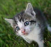 A baby kitten in the grass on a farm by PhotoCrazy6
