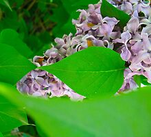 The last of May Lilacs by MarianBendeth
