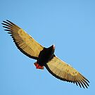 Bateleur Eagle by BlaizerB