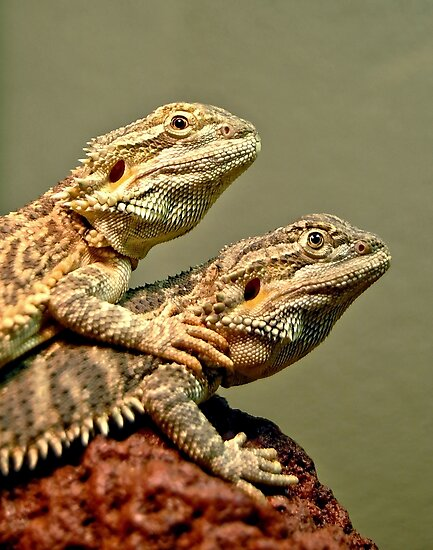 Basking Dragons  by Steven  Agius