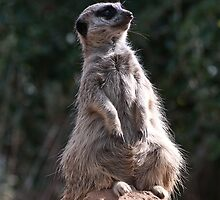 201004090644 Meerkat  by Fred Mitchell