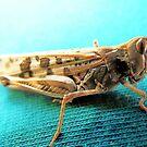 grasshopper by Peta Hurley-Hill