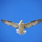 Gull  in  flight by EUNAN SWEENEY