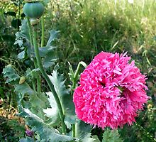 Opium Poppy decorates the demolition area by patjila