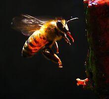 battito d'ali, ape in volo - Missano - (zocca modena italy)_4143 by primo masotti