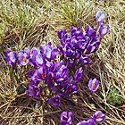 Bunch Of Crocus Flowers by Oleksii Rybakov