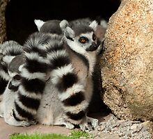 Ring-tailed Lemur Ball by Cecily McCarthy