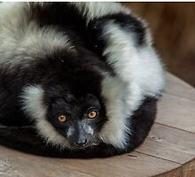 Black and White Ruff Lemur by Cecily McCarthy