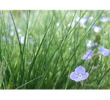Forget-Me-Not Meadow Photographic Print