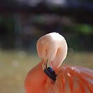 Sleepy Flamingo by Nathan Borg