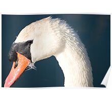 Heads up Mute Swan. Poster