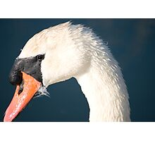 Heads up Mute Swan. Photographic Print