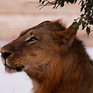 Female lion in Zambia by Marieseyes
