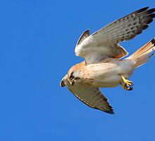 Nankeen Kestrel on the hunt 1 by Seesee