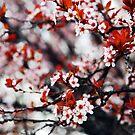 Cherry Blossoms by Sam Scholes