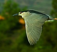060910 Black Crowned Night Heron by Marvin Collins