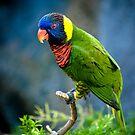Lorikeet parrot by Sam Scholes