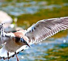 Black-headed gull (Chroicocephalus ridibundus) - 3  by Wizi-Top