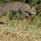 Young leopard cub bounding by Dean Wraith