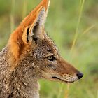 Black-backed jackal, South Africa by Graeme Shannon