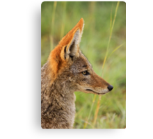 Black-backed jackal, South Africa Canvas Print
