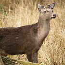 Sika deer in the woods by MendipBlue