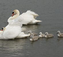 Swans and Cygnets by MendipBlue