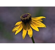 Cone flower Photographic Print