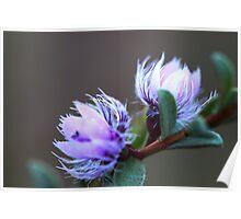 Verticordia blepharophylla Poster