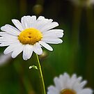 A Single Daisy by Jennifer Hulbert-Hortman