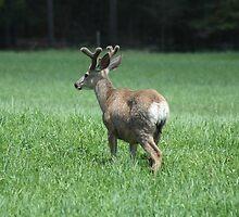 Muley Buck in Velvet by Moonikins