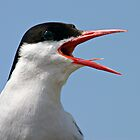 Arctic Tern, Portrait - Sterna paradisaea by David Lewins