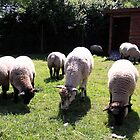 Sheep-ish by WellgateFarm