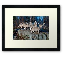 Timber Wolves  Framed Print