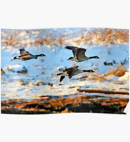 Goose Trio Poster