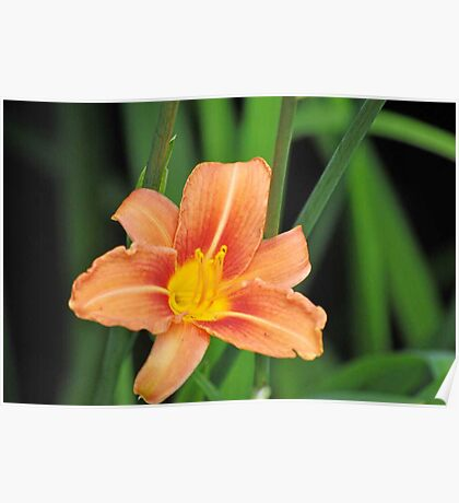 Peach and Yellow Daylily Poster