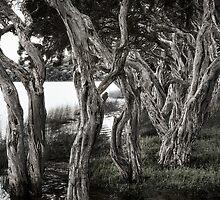 """ Nanarup Paperbarks ""  by Malcolm Heberle"
