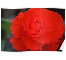 Brillant Red Begonia Poster