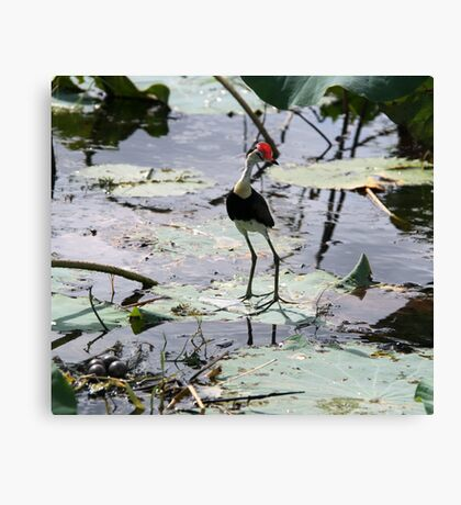 Jacana & Eggs Canvas Print