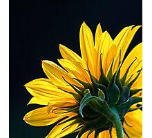 Sunflower 2 Photographic Print