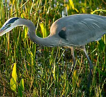 Great Blue Heron by Jeff Holcombe
